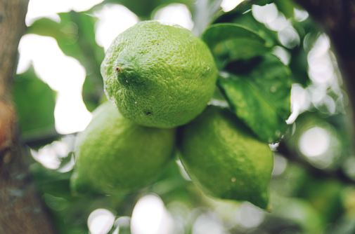 bergamot_on_the_tree