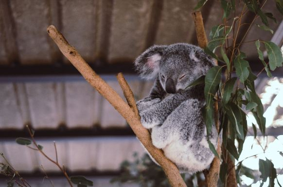 cute_koala_sleeping_on_the_tree